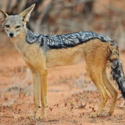 cruiser-safaris-black-backed-jackal