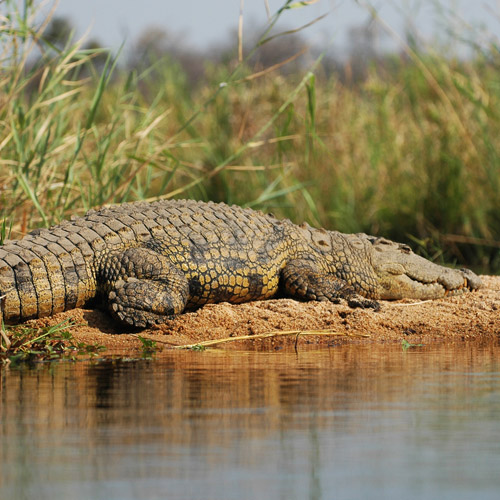 Crocodile Viewing