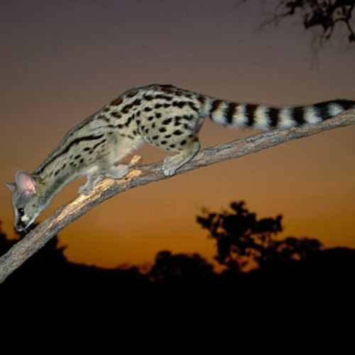 cruiser-safaris-spotted-genet