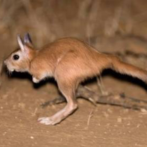 cruiser-safaris-spring-hare