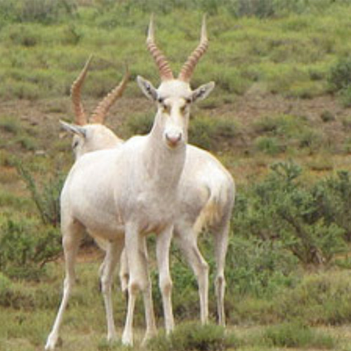 cruiser-safaris-white-blesbok
