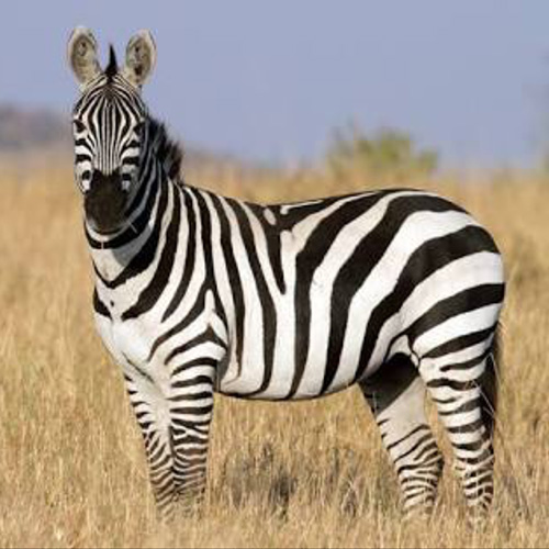 cruiser-safaris-zebra-hunt-square