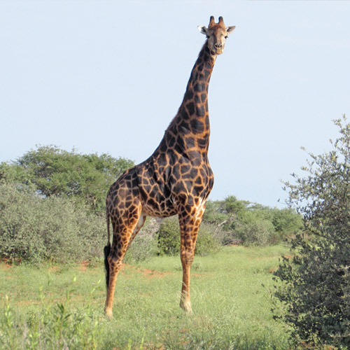 cruiser-safaris-giraffe-hunt-square