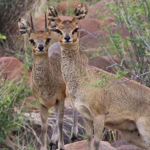 cruiser-safaris-klipspringer-hunt-square