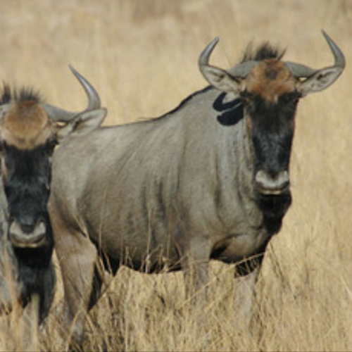 cruiser-safaris-blue-wildebeest-female-square