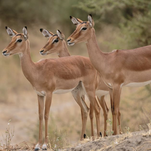 cruiser-safaris-impala-females