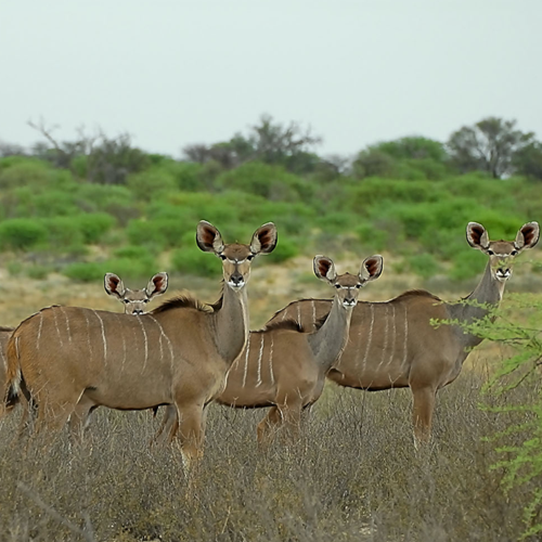 cruiser-safaris-species-kudu-female
