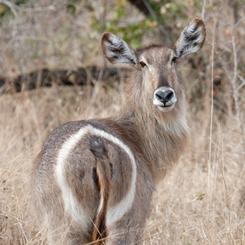 cruiser-safaris-waterbuck-cow